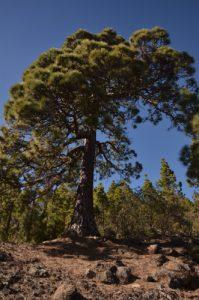 Pin des Canaries (Pinus canariensis) sur le sentier de Paysaje Lunar<br> Île de Tenerife (Islas Canarias)