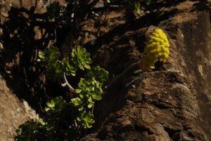 Plante grasse (Aeonium holochrysum) sur le sentier de Paysaje Lunar<br> Île de Tenerife (Islas Canarias)