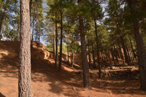 Forêt de Pins des Canaries (Pinus canariensis)<br> La vallée de la Orotava<br> Île de Tenerife (Islas Canarias)