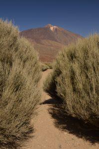 Les genêts de la plaine de Ucanca &amp; le volcan Teide<br> Parc national du Teide<br> Île de Tenerife (Islas Canarias)