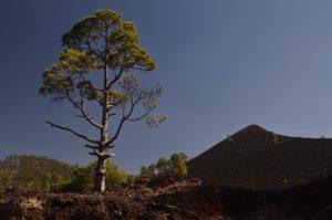 Pin des Canaries (Pinus canariensis) sur le sentier du Tour du Chinyuero<br> Parc national du Teide<br> Île de Tenerife (Islas Canarias)