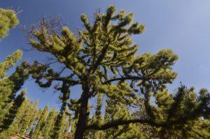 Pin des Canaries (Pinus canariensis) ayant résisté au feu sur le sentier du Tour du Chinyuero<br> Parc national du Teide<br> Île de Tenerife (Islas Canarias)