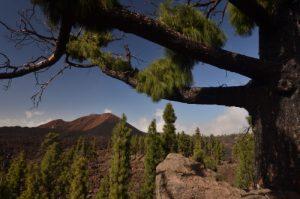 Pin des Canaries (Pinus canariensis) ayant résisté au feu &amp; volcan Chinyuero<br> Parc national du Teide<br> Île de Tenerife (Islas Canarias)