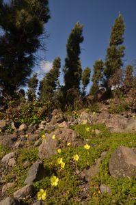 Fleur sur le bord du sentier du Tour du Chinyuero<br> Parc national du Teide<br> Île de Tenerife (Islas Canarias)