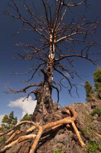 Pin des Canaries (Pinus canariensis) n'ayant pas résisté au feu sur le sentier du Tour du Chinyuero<br> Parc national du Teide<br> Île de Tenerife (Islas Canarias)