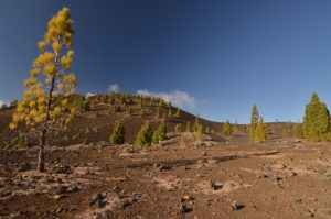 Pins des canaries &amp; volcan Samara<br> Parc national du Teide<br> Île de Tenerife (Islas Canarias)