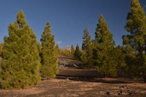 Pin des Canaries (Pinus canariensis) et le volcan Teide (3718m) sur le sentier de las Montanas Samara &amp; Reventada<br> Parc national du Teide<br> Île de Tenerife (Islas Canarias)