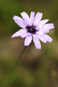 Fleur<br> Gîte du Berger - Le Prignolet (Brianconnet)<br> Parc Naturel Régional des Préalpes d'Azur