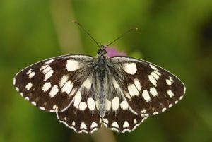 Le papillon Demi-deuil (Melanargia galathea) -  Gîte du Berger - Le Prignolet (Brianconnet) -  Parc Régional du Verdon
