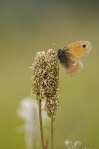 Le papillon Procris (Coenonympha pamphilus) -  Gîte du Berger - Le Prignolet (Brianconnet) -  Parc Régional du Verdon