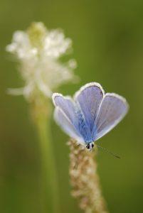 Le papillon Azuré du plantain (Polyommatus escheri)<br> Gîte du Berger - Le Prignolet (Brianconnet)<br> Parc Naturel Régional des Préalpes d'Azur