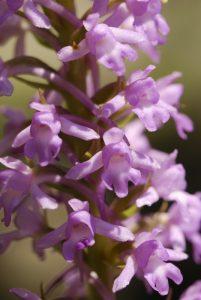 L'Orchidée Orchis moucheron (Gymnadenia conopsea)<br> Parc Naturel Régional des Préalpes d'Azur