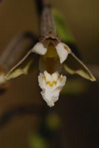 Epipactis des marais, (Epipactis palustris)<br> Parc Naturel Régional des Préalpes d'Azur