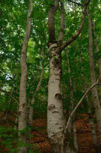 Le Hêtre commun (Fagus sylvatica)<br> Chemin de la Cascade du Verraillon<br> Parc Naturel Régional des Préalpes d'Azur