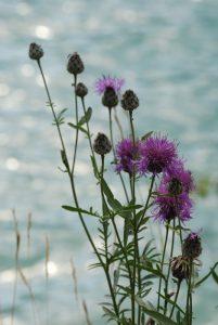 Fleur<br> Lac de Chaudanne<br> Parc Régional du Verdon