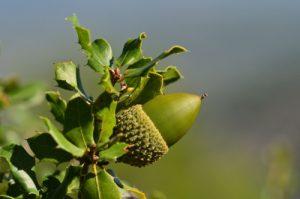 Le Chêne des garrigues ou Chêne kermès (Quercus coccifera)<br> Le Mont Puget<br> Parc Naturel National des Calanques
