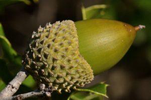 Gland du Chêne des garrigues ou Chêne kermès (Quercus coccifera)<br> Le Mont Puget<br> Parc Naturel National des Calanques