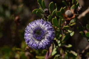 La Globulaire buissonnante (Globularia alypum)<br> Le Mont Puget<br> Parc Naturel National des Calanques