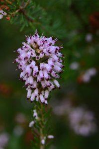 La Bruyère à nombreuses fleurs (Erica multiflora)<br> Le Mont Puget<br> Parc Naturel National des Calanques