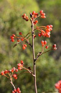 Fruit de l'Alisier blanc ou Allier ou Alouchier ou Sorbier des Alpes (Sorbus aria)<br> Le Mont Puget<br> Parc Naturel National des Calanques