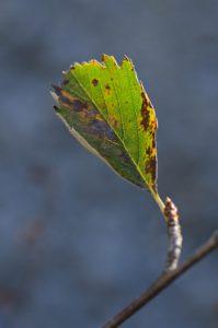 Feuille de l'Alisier blanc ou Allier ou Alouchier ou Sorbier des Alpes (Sorbus aria)<br> Le Mont Puget<br> Parc Naturel National des Calanques