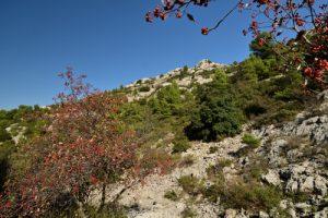L'Alisier blanc ou Allier ou Alouchier ou Sorbier des Alpes (Sorbus aria)<br> Le Mont Puget<br> Parc Naturel National des Calanques