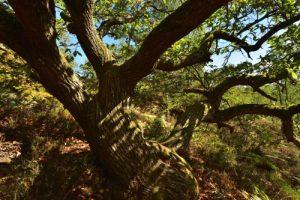 Le Châtaignier ou Châtaignier commun (Castanea sativa)<br> Forêt départementale des Grands-Avaux