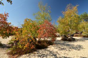 Le Peuplier tremble, Tremble ou Tremble d'Europe (Populus tremula)<br> Le Cul du Chien<br> Forêt de Fontainebleau