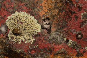 Lichen<br> Le Cul du Chien<br> Forêt de Fontainebleau