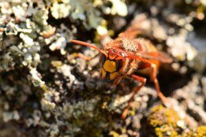 Ouvrière de Frelon européen (Vespa crabro) collectant des fibres pour fabriquer son nid de « papier mâché »<br> Le Cul du Chien<br> Forêt domaniale de Fontainebleau