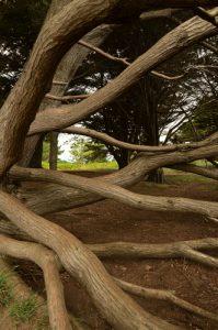 Le cyprès de Lambert ou cyprès de Monterey (Cupressus macrocarpa)<br>  Le Petit Mont<br> Parc Naturel Régional du Golfe du Morbihan