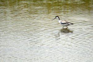 L'Avocette élégante (Recurvirostra avosetta) <br> La Réserve Naturelle des Marais de Séné<br> Parc Naturel Régional du Golf du Morbihan