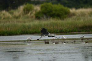 Le Héron cendré (Ardea cinerea)<br> La Réserve Naturelle des Marais de Séné<br> Parc Naturel Régional du Golf du Morbihan