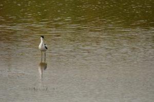 Juvénile Avocette élégante (Recurvirostra avosetta)<br> La Réserve Naturelle des Marais de Séné<br> Parc Naturel Régional du Golf du Morbihan
