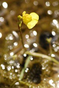 La plante carnivore Utriculaire (Utricularia sp.)<br>  Espace Naturel Sensible des Bordes Chalonges