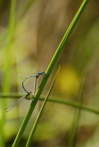 Accouplement d'Agrion jouvencelle (Coenagrion puella)<br> Espace Naturel Sensible des Bordes Chalonges