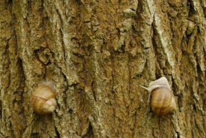 Course d'Escargot de Bourgogne (Helix pomatia)<br> Espace Naturel Sensible des Bordes Chalonges