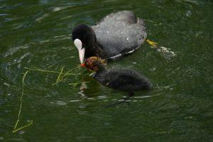 Foulque macroule (Fulica atra) donnant à manger des plantes à ses poussins<br> Parc départemental de la Haute-Île