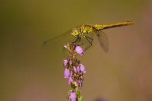 Sympétrum sanguin femelle (Sympetrum sanguineum) Réserve Naturelle du Pinail
