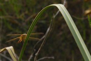 Crocothémis écarlate femelle, jeune (Crocothemis erythrarea) Réserve Naturelle du Pinail