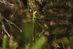 Anax empereur mâle immature (Anax imperator) Réserve Naturelle du Pinail