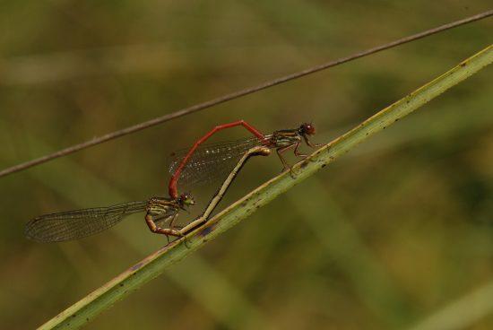 Libellule Orthémis antillais mâle (Orthemis macrostigma) Prequ'île de la Caravelle Île de la Martinique
