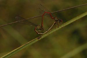 Accouplement de Agrion délicat (Cériagrion tenellum) Réserve Naturelle du Pinail