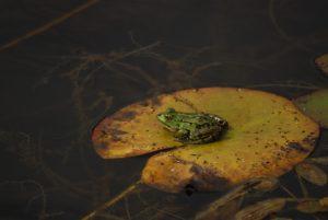 La Grenouille verte (Pelophylax kl. esculentus)<br> Réserve Naturelle Nationale du Pinail