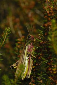Criquet ensanglanté (Stethophyma grossum) Réserve Naturelle du Pinail