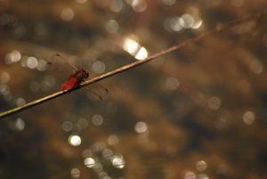 Crocothémis écarlate mâle (Crocothemis erythrarea) Réserve Naturelle du Pinail