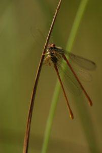 Cannibalisme entre Agrions délicats (Cériagrion tenellum) Réserve Naturelle du Pinail
