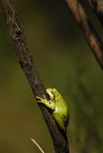 La Rainette verte (Hyla arborea)<br> Réserve Naturelle du Pinail