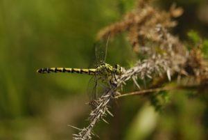 Gomphe à forceps (Onychogomphus forcipatus) Réserve Naturelle du Pinail