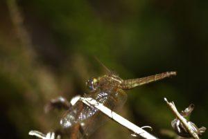 Crocothémis écarlate femelle (Crocothemis erythraea) Réserve Naturelle du Pinail